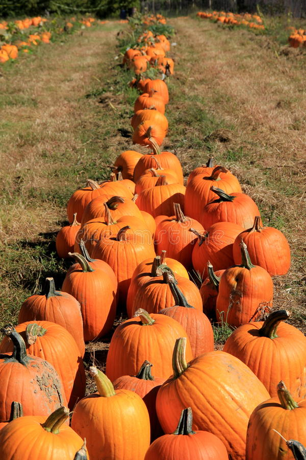 Long rows of large,colorful pumpkins in field. Harvest of large orange pumpkins arranged in long rows in the middle of farming field,ready to bring to market stock image