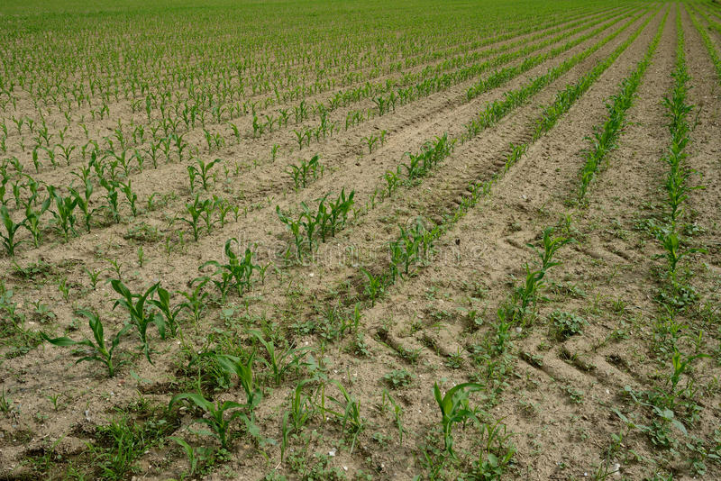 Long rows with young corn stock image