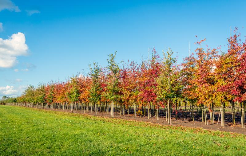 Long rows of young oak avenue trees in varied colors supported b. Y bamboo sticks. The image was taken at a specialized Dutch nursery on a sunny day in autumn stock photo