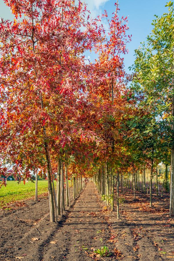Long rows of young oak avenue trees in varied colors supported by bamboo sticks. Vertical image with long rows of young oak avenue trees in varied colors royalty free stock images