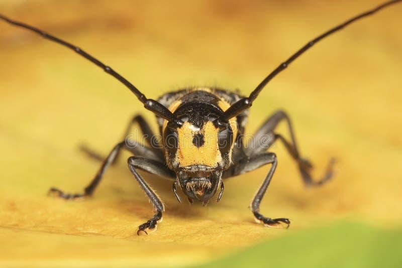 Long scarabée à cornes sur la feuille jaune photo libre de droits