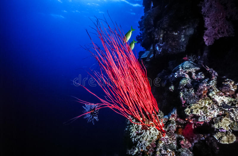 Long Sea whip, Ellisella elongata. Alcyonacea is an order of sessile colonial cnidarians Gorgonian royalty free stock photography