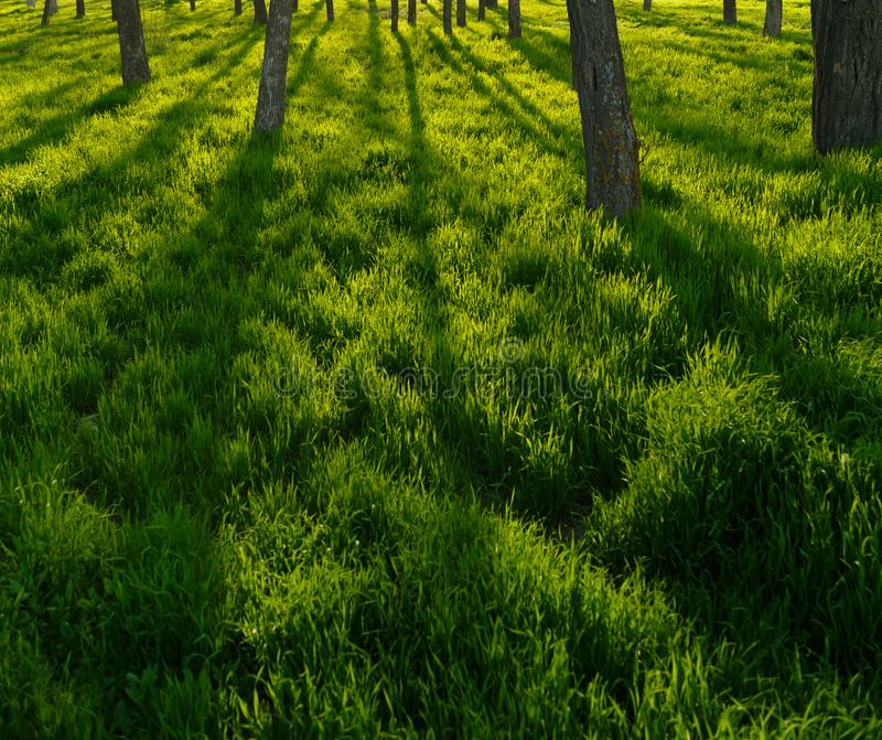 Long shadows from the trees fall on the green grass at sunset royalty free stock photography
