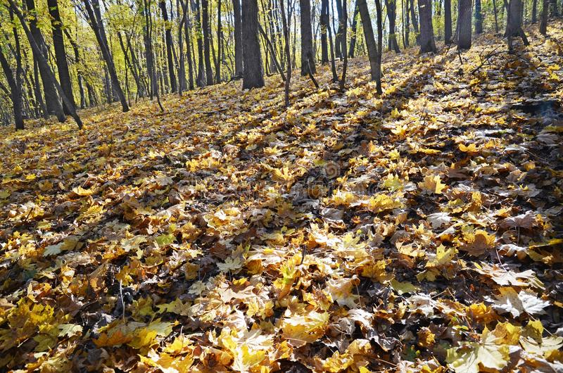 Shadows at fallen maple leaves in autumn forest royalty free stock photography