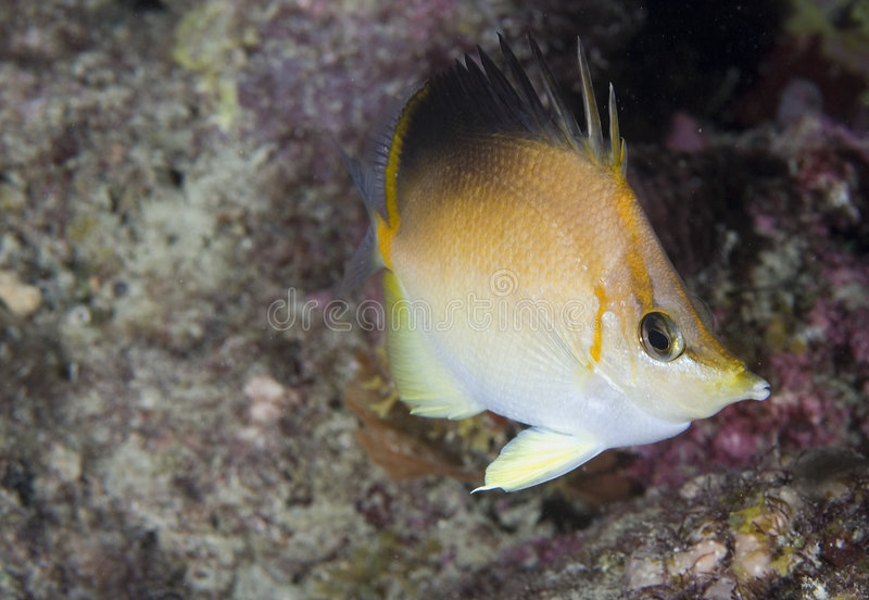 Long Snout Butterflyfish. Chaetodon aculeatus picture taken in south east Florida stock image