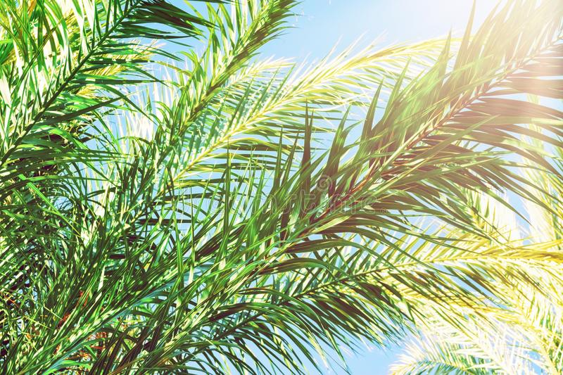 Long Spiky Feathery Branches of Palm Trees on Bright Blue Sky Background. Golden Pink Peachy Pastel Sunlight. Tropical Foliage. Long Spiky Feathery Branches of stock images