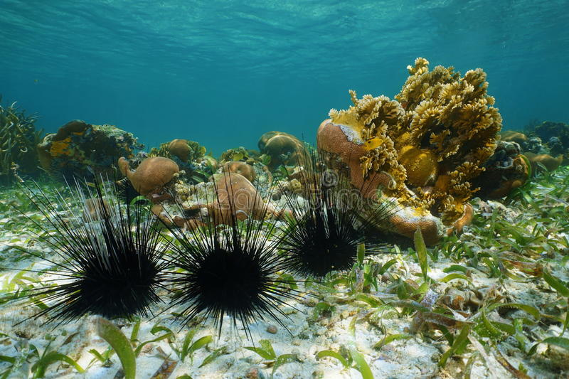 Long spined sea urchins underwater royalty free stock image