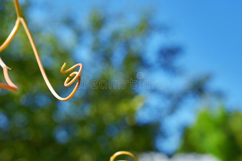 Long spiral young they escape grapes royalty free stock image