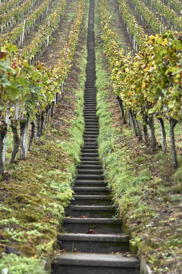 Long stairs through grapes royalty free stock image