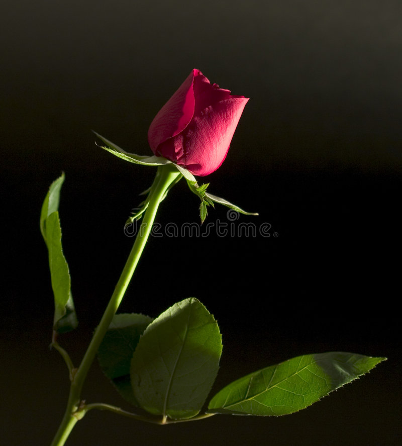 Long-stem red rose stock images