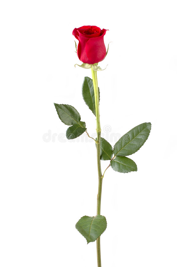 Long Stem Rose stock photos