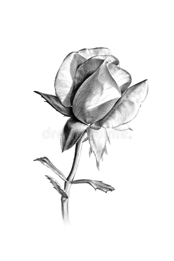 Long stem rose pencil sketch for valentines day or more stock illustration