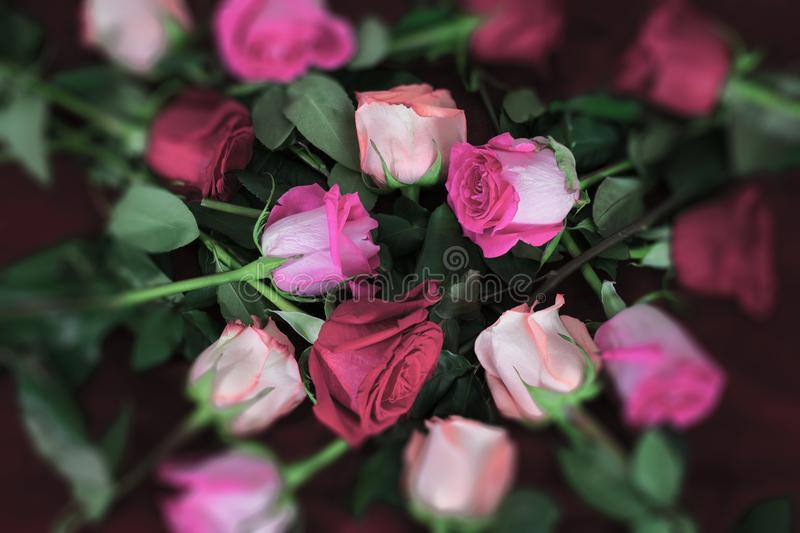Long stem roses in tones of pink on red fabric royalty free stock image