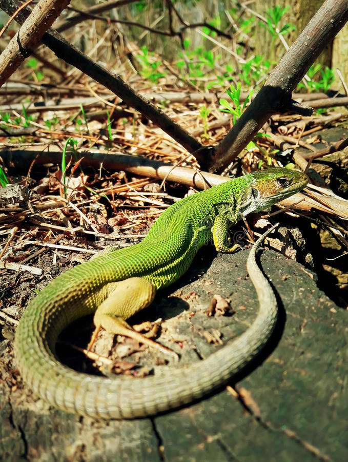 Long Tail Lizard. Green lizard warms up at the sun sitting on a tree trunk in the spring forest. Long tail reptile in the nature habitat stock photos