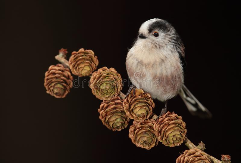 Long-tail tit bird. On branch with pine cones, black background royalty free stock photos