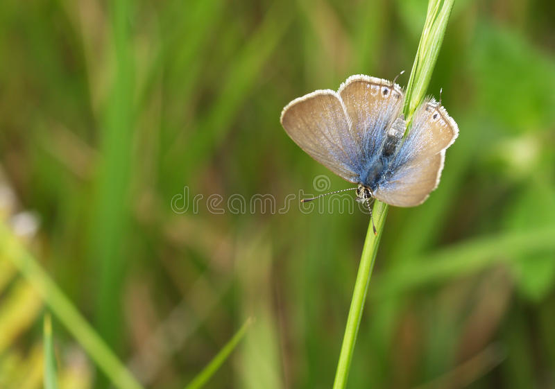 Long-tailed blue butterfly royalty free stock photo