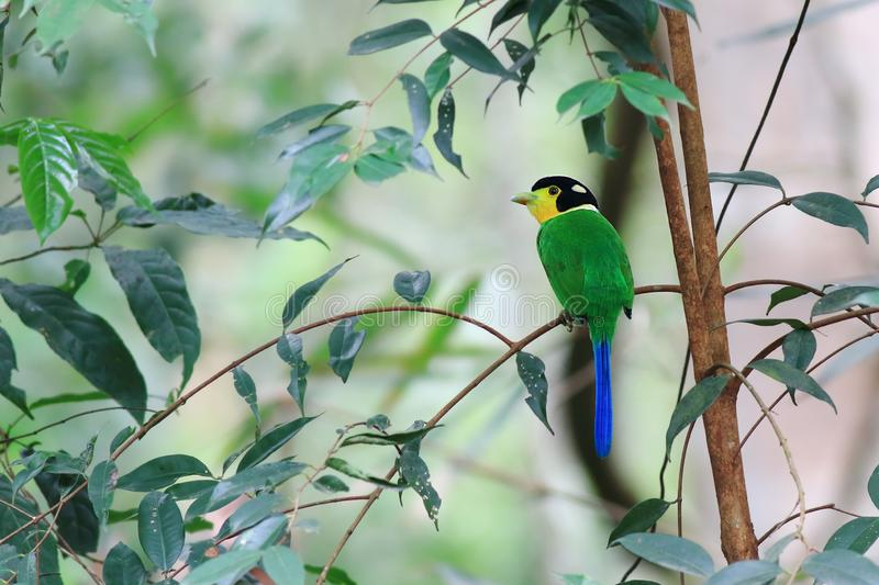 Long-tailed Broadbill arkivbild