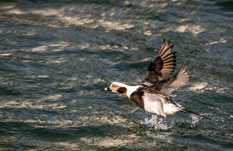 Long-tailed duck flying royalty free stock photos
