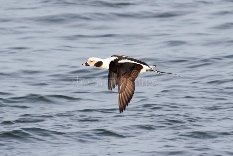 Long-tailed Duck (Oldsquaw) In flight stock photography