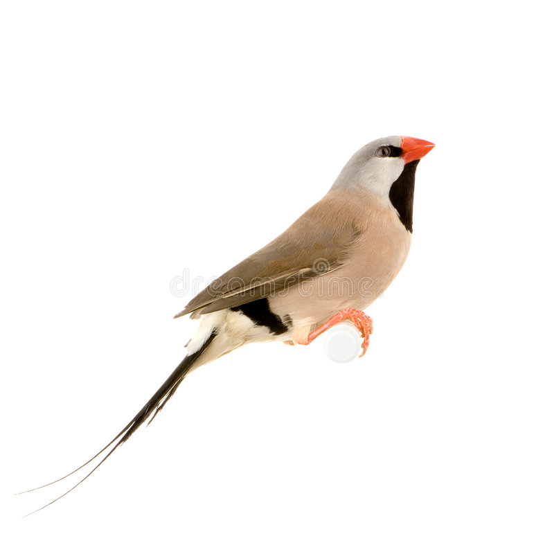 Download Long-tailed Finch stock photo. Image of long, animals - 2314578