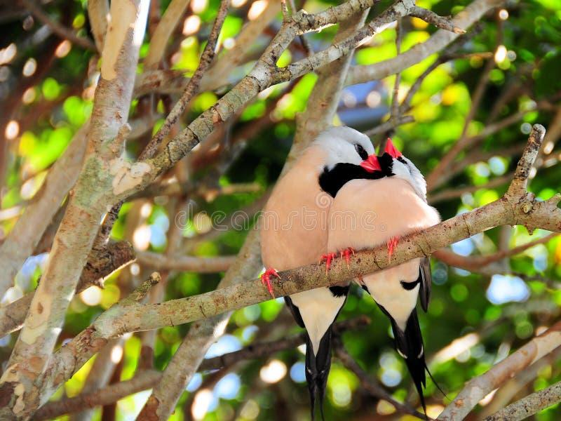 Long-tailed Finch Birds Royalty Free Stock Photos