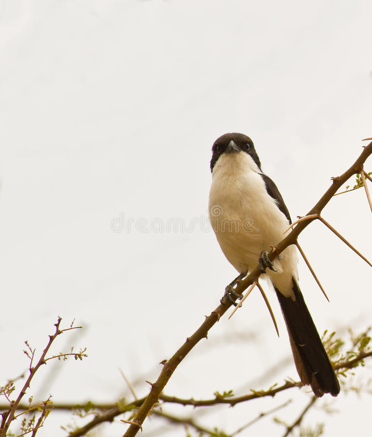 The Long-tailed Fiscal