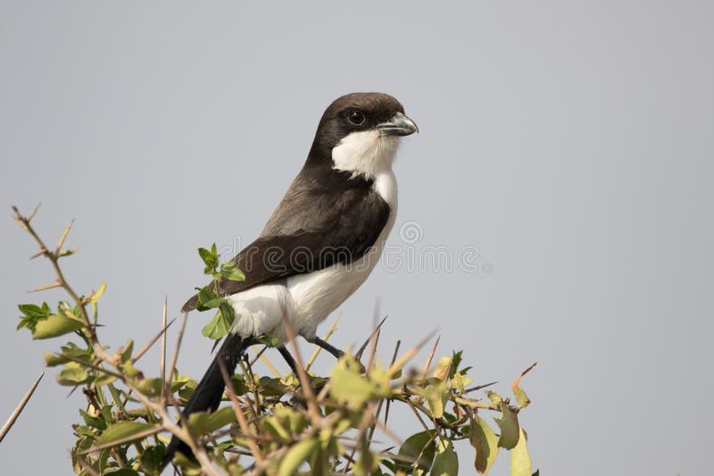 Long-Tailed Fiscal. Fiscal scans the surroundings for food and predators stock photos