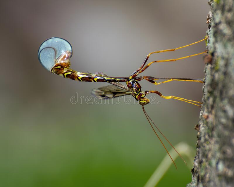 Long-Tailed Giant Ichneumon Wasp royalty free stock photos