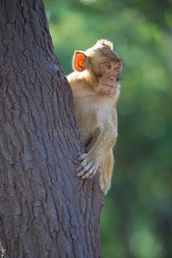 Long-tailed Macaque lizenzfreie stockbilder
