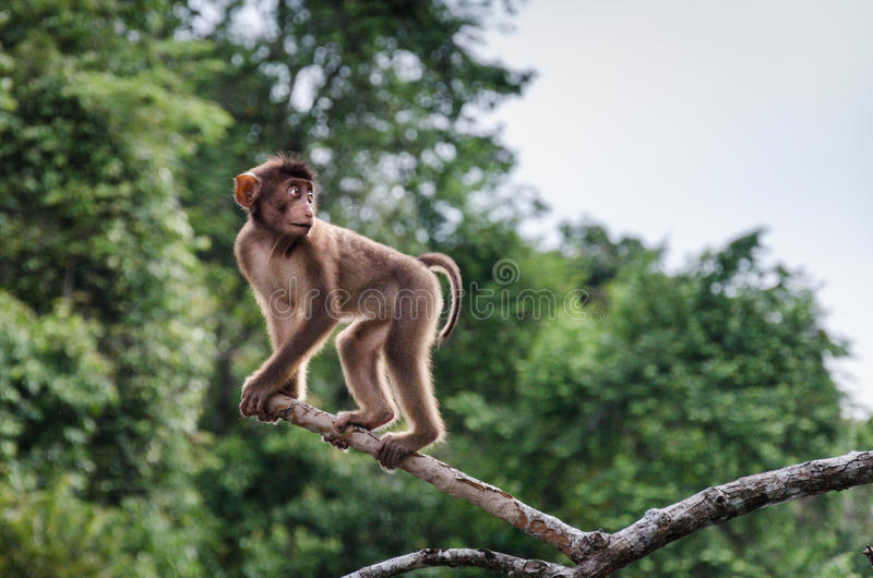 Long tailed macaque in central Sabah  stock images