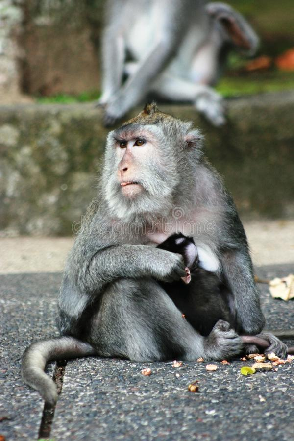The long-tailed macaque (Macaca fascicularis) royalty free stock photo