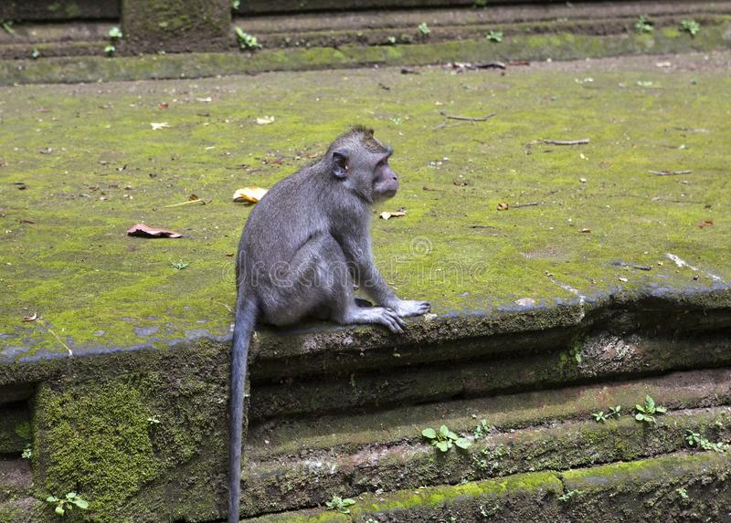 Long-tailed macaque-Macaca fascicularis in Sangeh Monkey Forest in Bali, Indonesia royalty free stock photo