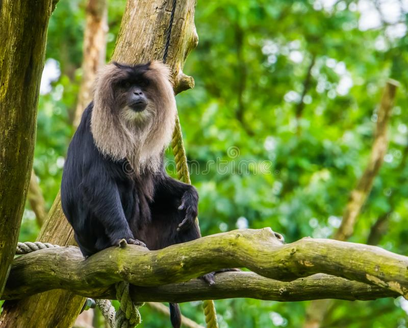 Long tailed macaque sitting on a tree branch in closeup, tropical primate, Endangered animal specie from India royalty free stock image