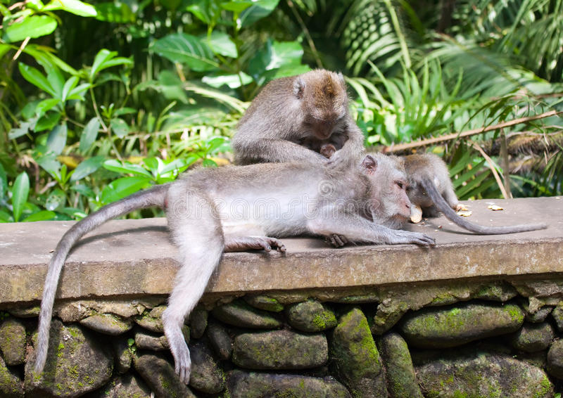 Long-tailed macaques .Macaca fascicularis royalty free stock image
