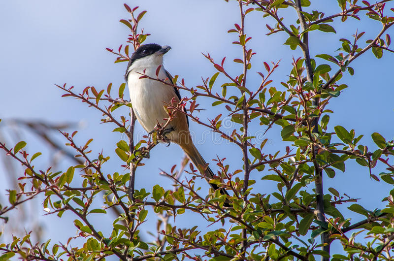 Long-tailed shrike. The long-tailed shrike or rufous-backed shrike stock image