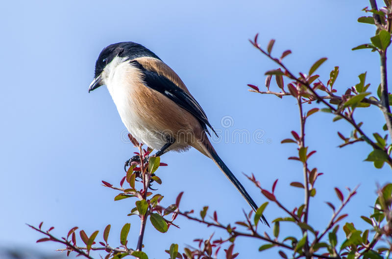 Long-tailed shrike. The long-tailed shrike or rufous-backed shrike stock photos