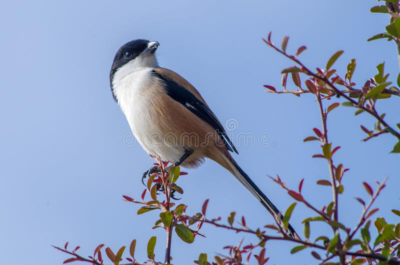 Long-tailed shrike. The long-tailed shrike or rufous-backed shrike royalty free stock images