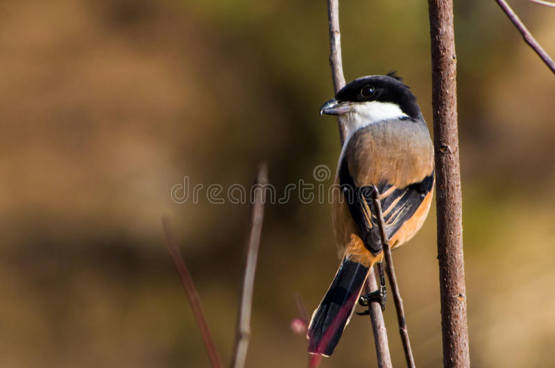 Long-tailed shrike. The long-tailed shrike or rufous-backed shrike stock photography