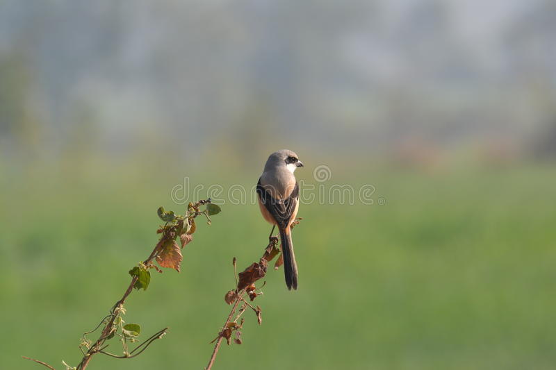 Long-tailed Shrike. S are resident breeders in the most parts of India. Lanius schach in their Scientific Name. They can spotted around Cultivation, Wetlands and royalty free stock images