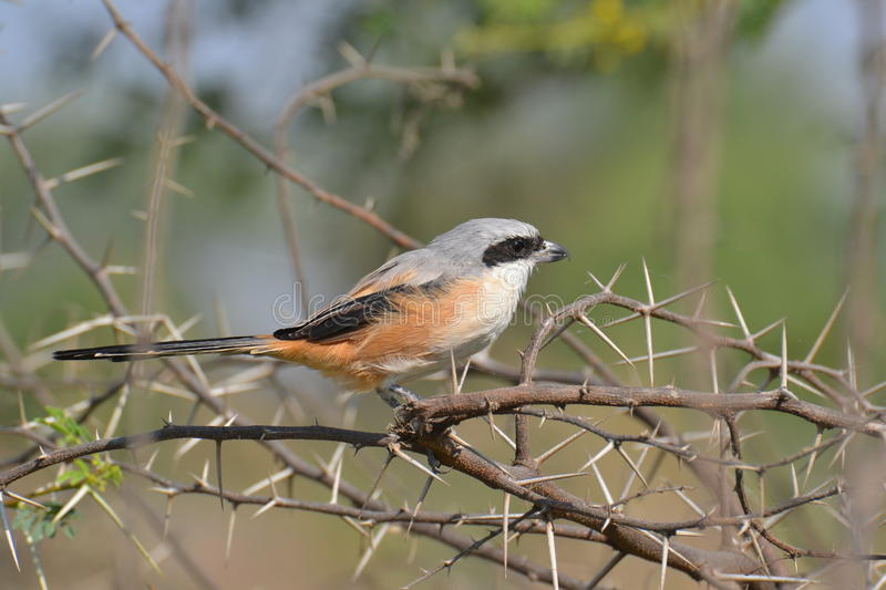 Long-tailed Shrike. S are resident breeders in the most parts of India. Lanius schach in their Scientific Name. They can be spotted around Cultivation, Wetlands royalty free stock photos
