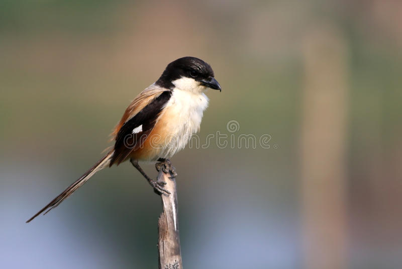 Long tailed shrike stock image