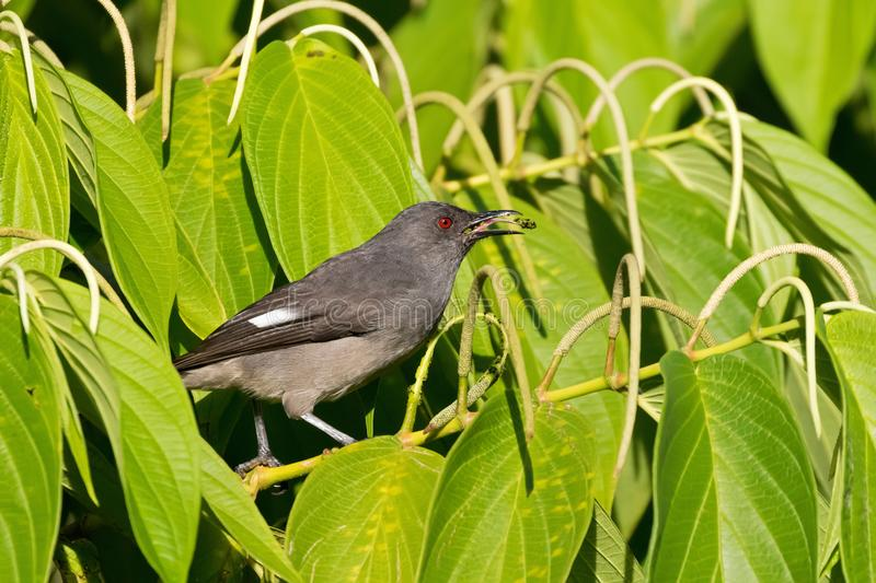 Long-tailed sibia gray bird feeding on long pepper at Fraser's Hill, Malaysia. South east Asia Heterophasia picaoides royalty free stock images
