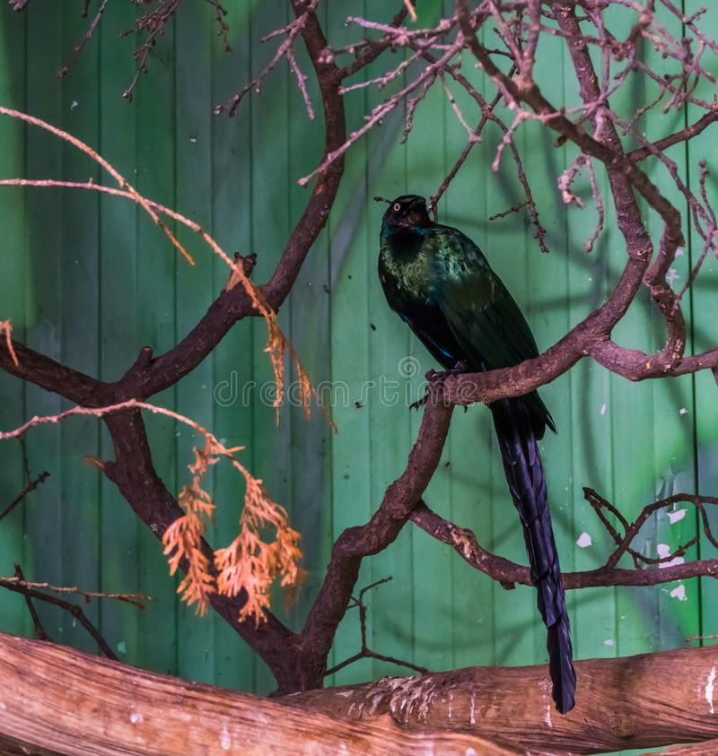 Long tailed starling sitting on a tree branch, beautiful bird with colorful green shiny feathers, tropical bird from africa royalty free stock photos