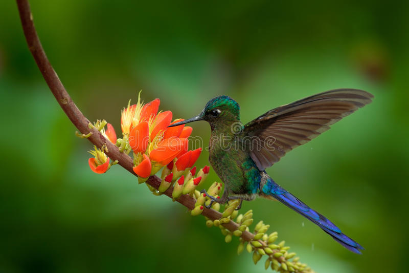 Long-tailed Sylph, Aglaiocercus kingi, rare hummingbird from Colombia, gree-blue bird flying next to beautiful orange flower royalty free stock images