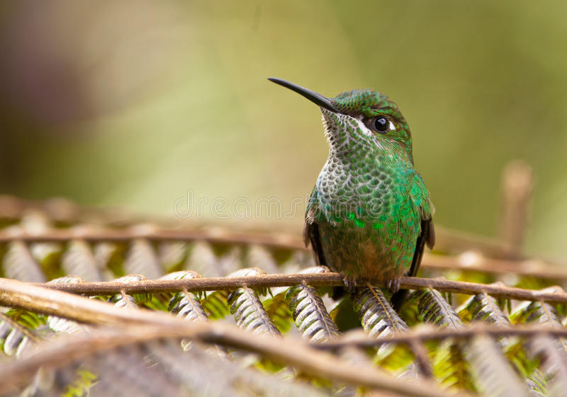 A Long-Tailed Sylph on a fern stock images
