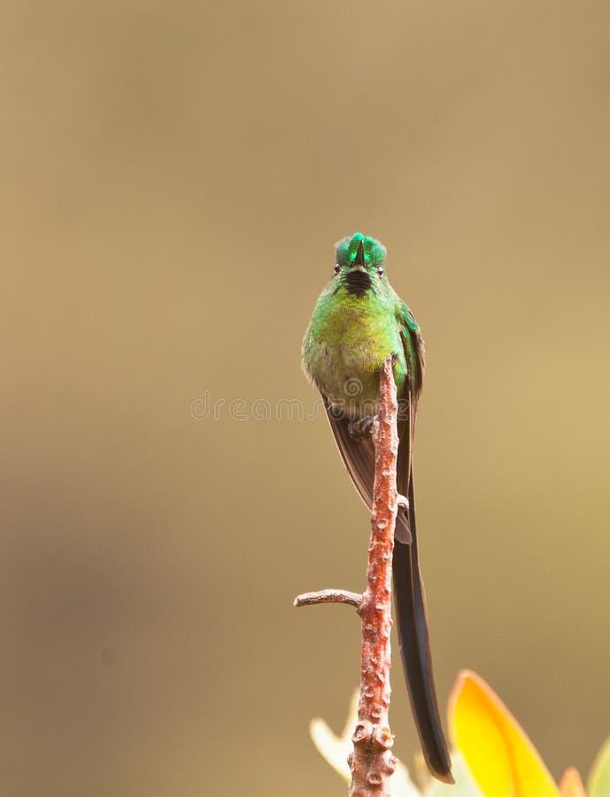 The Long-tailed Sylph Hummingbird stock image