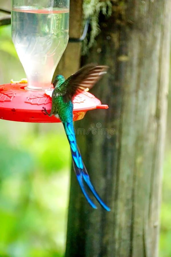 Long-tailed sylph hummingbird royalty free stock image