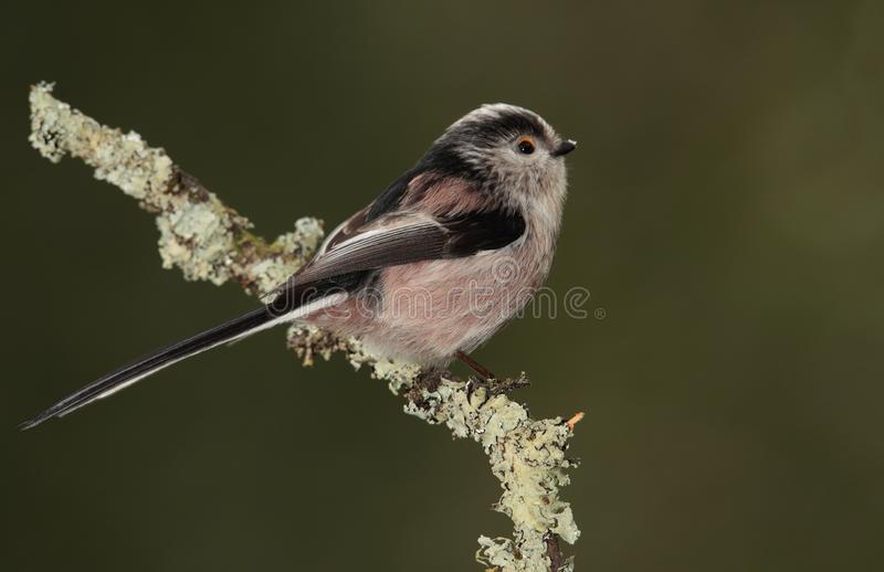 Long-tailed Tit stockfotografie