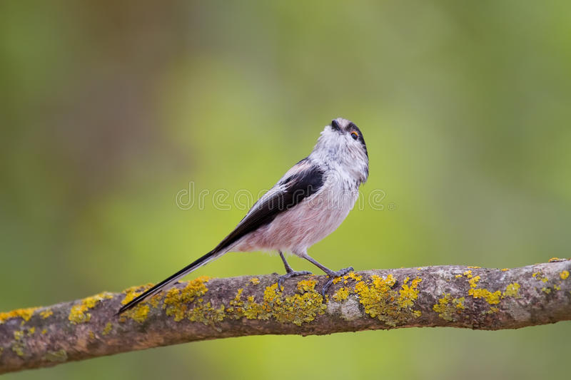 Download Long-tailed Tit stock image. Image of branch, fauna, park - 17519967