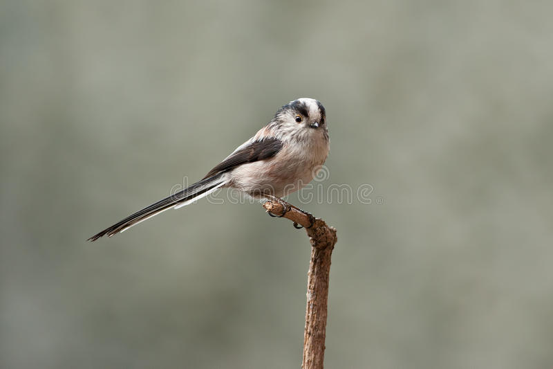 Download Long-Tailed Tit stock photo. Image of aegithalos, feather - 18837268